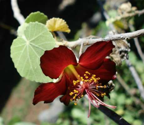 Abutilon menziesii - Mark Merlin