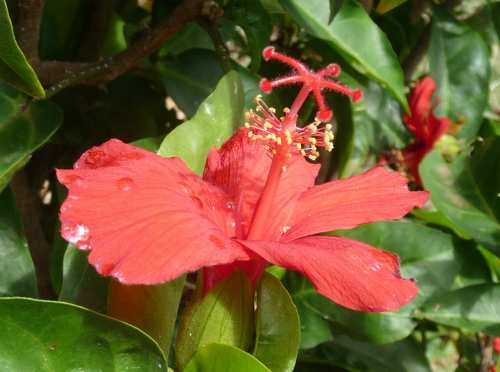 Endemic Hibiscus - Mark Merlin