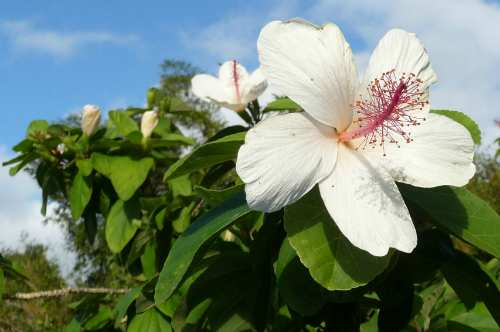 Hibiscus waimeae at NTBG - Mark Merlin