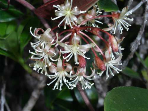 Smilax melastomifolia - Don Drake