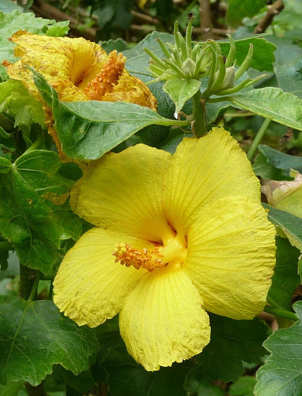 Hibiscus brackenridgii, Hawaii State flower, Kalopa park - Mark Merlin
