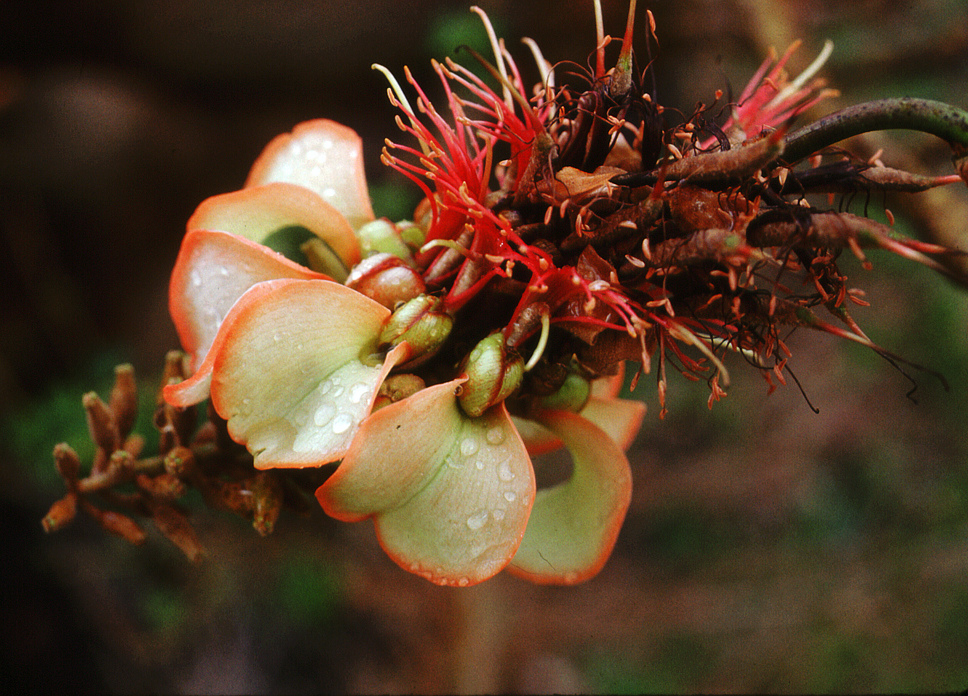 Erythrina sandwichensis - Tom Ranker