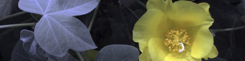 TR Gossypium tomentosum