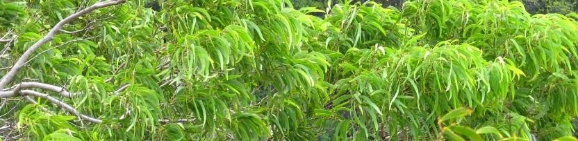 Koa tree - Kim Shay